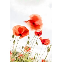 Blurring poppies
