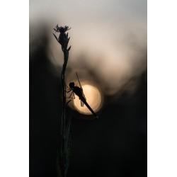 Le repos de la libellule