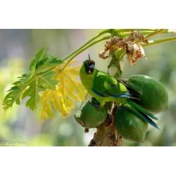 Perruche d'Ouvéa